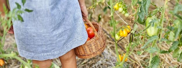 Bannière petite fille cueillant, récoltez la récolte de tomates rouges biologiques dans le jardinage domestique