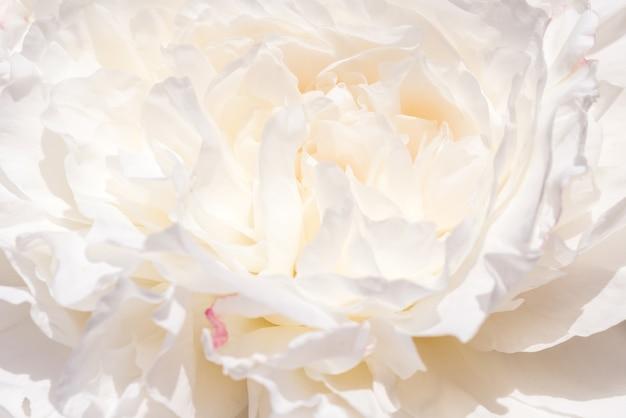 Bannière romantique, gros plan de fleurs de pivoines blanches délicates. pétales roses parfumés, fond abstrait de romance, pastel et carte de fleur douce