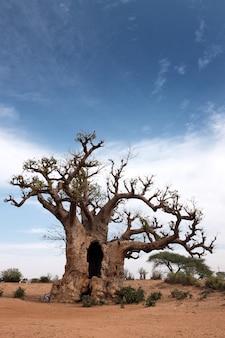 Baobab dans le désert