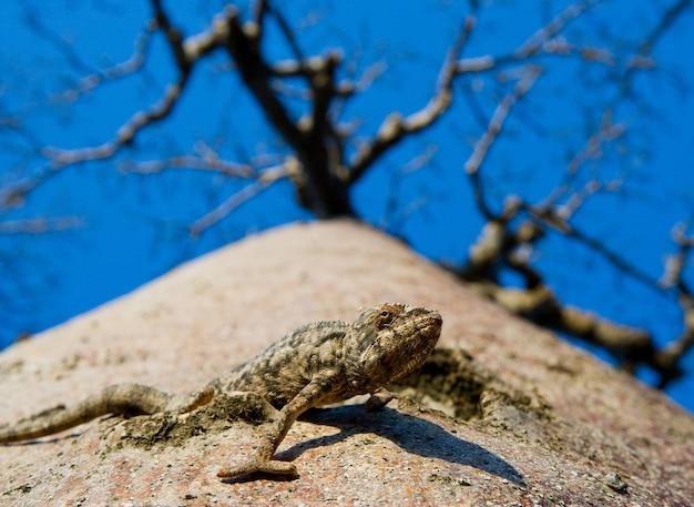Baobab solitaire sur le fond de ciel à madagascar