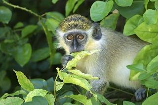 La barbade green monkey