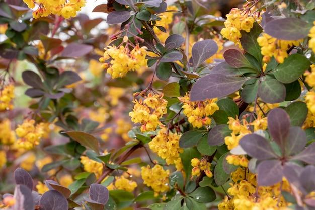 Barberries de thunberg à feuilles rouges et fleurs jaunes