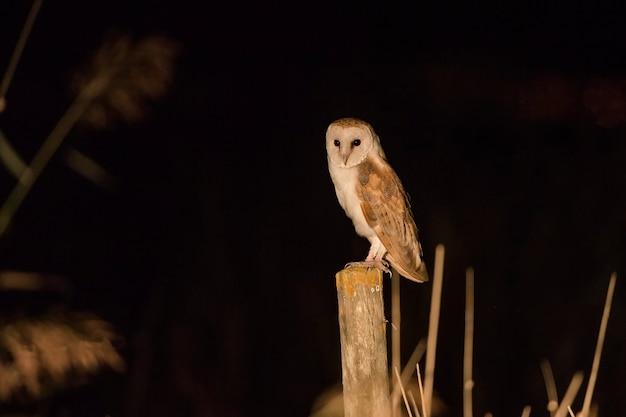 Barm owl dans la nuit
