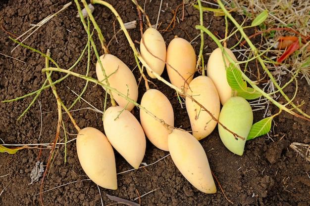 Barracuda mango place sur le sol. saison de récolte