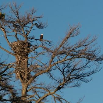Bas affichage angle, de, aigle, perché, sur, arbre, branche, lac, les, bois, ontario, canada