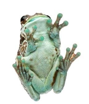 Bas affichage angle, de, amazone, lait, grenouille, trachycephalus, resinifictrix, devant, fond blanc