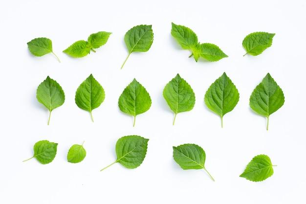 Basilic arboricole (ocimum gratissimum).