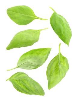 Basilic, ensemble de feuilles isolées