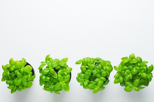 Basilic frais dans des pots isolés sur blanc