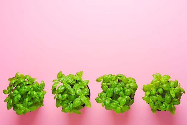 Basilic frais dans des pots isolés sur rose