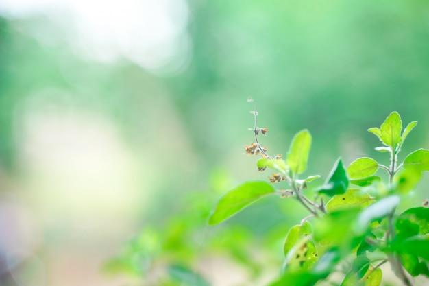Basilic sacré feuille verte sur l'arbre de basilic sacré