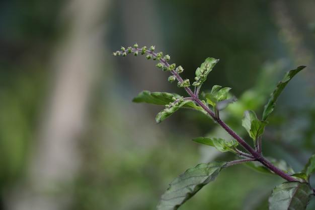 Basilic sacré (ocimum tenuiflorum). plante feuillue verte.