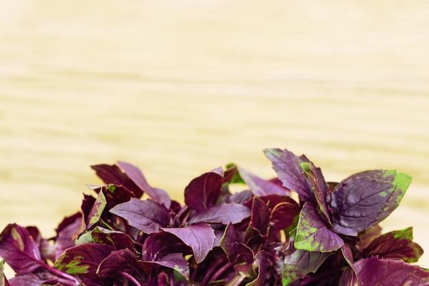 Basilic végétal épicé aux feuilles violettes brillantes. herbes parfumantes