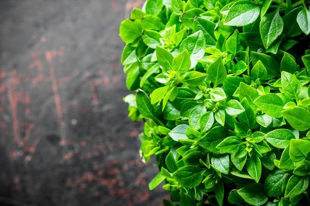 Basilic vert frais. sur fond rustique foncé