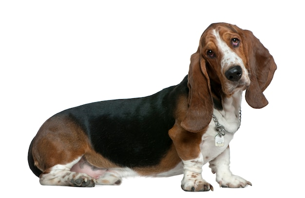 Basset hound, 22 mois, assis devant un mur blanc
