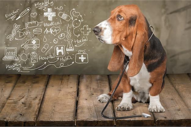 Basset hound chien avec stéthoscope sur l'arrière-plan