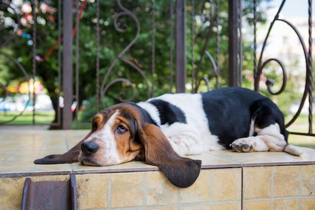 Basset hound dog sur le sol