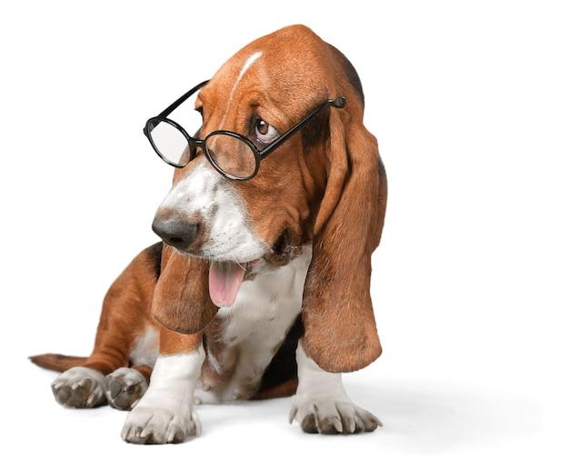 Basset hound utilisant un ordinateur portable et portant des lunettes