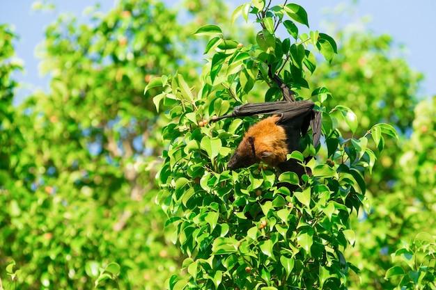 Bat accroché sur une branche d'arbre chauve-souris malaise