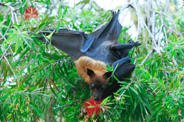 Bat accroché à une branche d'arbre chauve-souris malaise