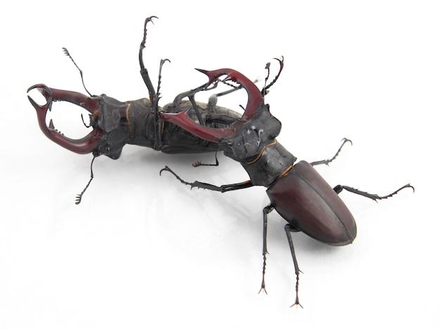 La bataille des deux insectes mâles coléoptères cerf sur blanc