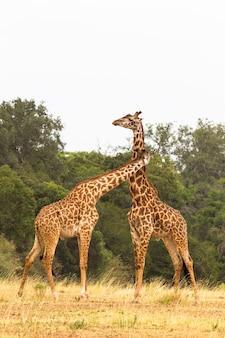 La bataille des girafes kenya afrique