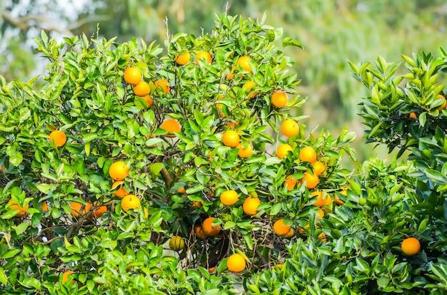 À batoumi, les arbres poussent de belles mandarines.