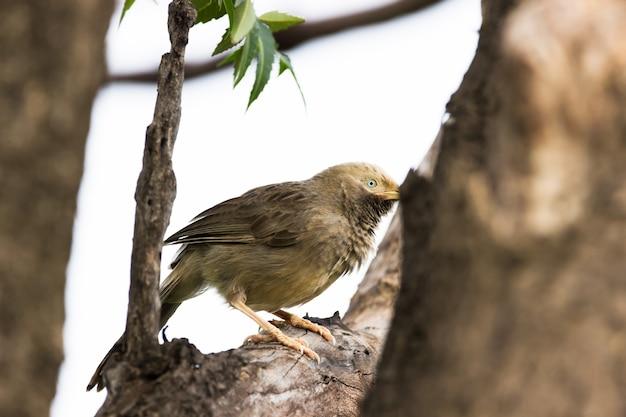 Le bavard à la gorge bouffante assis sur la branche