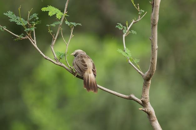 Le bavard puffthroated assis sur la branche d'arbre