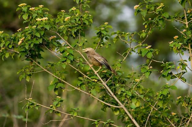Le bavard puffthroated assis sur la branche