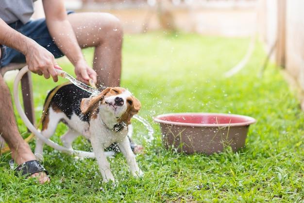 Beagle mignon chiot prenant une douche