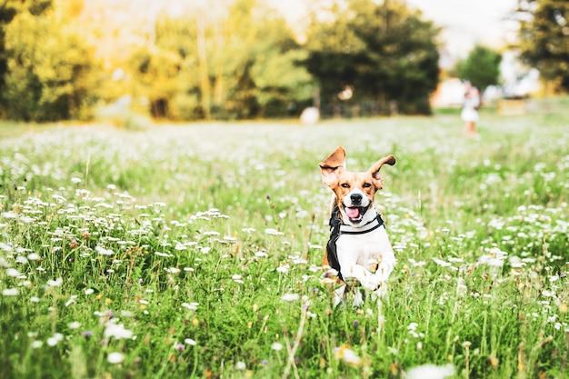 Les beagles sont mignons et aiment toujours être dans la nature