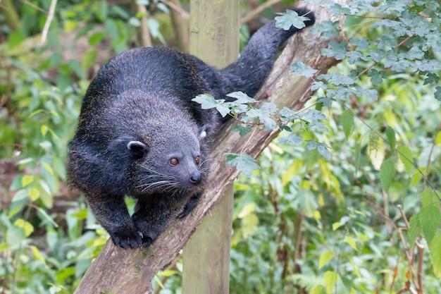 Bearcat - binturong marchant sur une branche