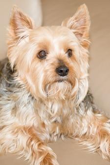 Beau et agréable yorkshire terrier reposant sur un canapé