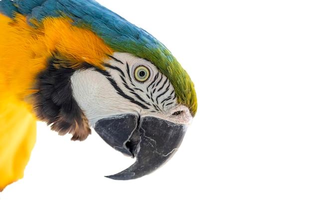Beau ara jaune-bleu, portrait d'ara canind