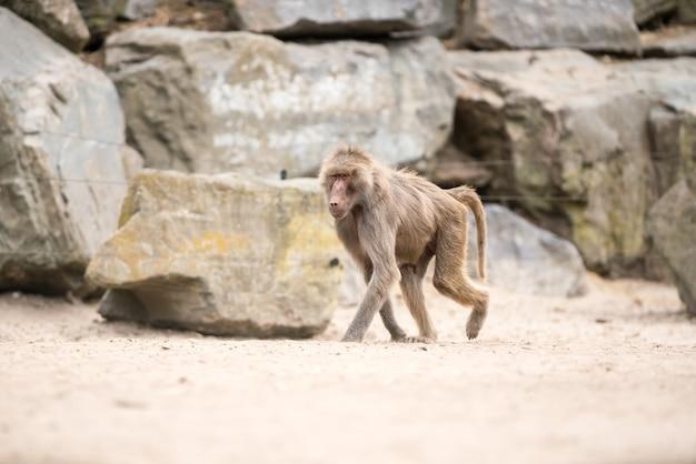 Beau babouin