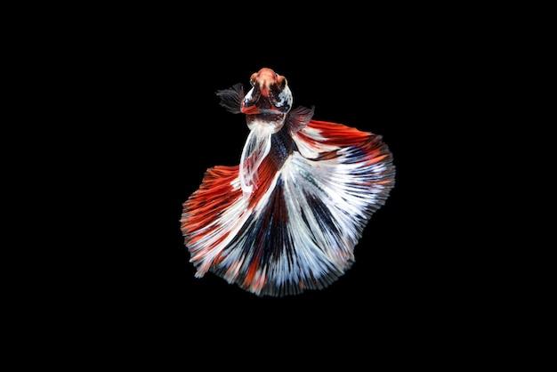 Beau betta splendens rouge, bleu et blanc, le poisson combattant siamois communément appelé betta est un poisson populaire dans le commerce des aquariums.