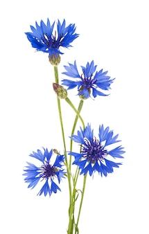 Beau bleuet bleu isolé
