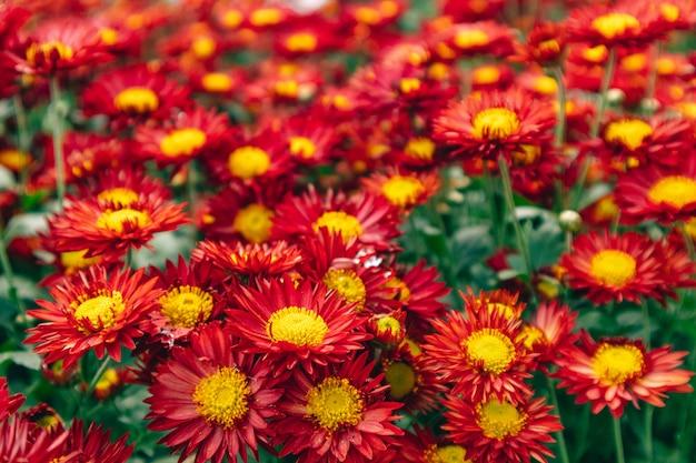 Beau bouquet de fleurs de marguerite rouge dans le jardin en représentant la passion et l'innocence.