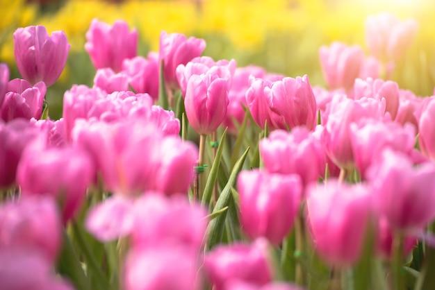 Beau bouquet de fleurs de tulipes roses en mise au point sélective avec fond de tulipes jaunes