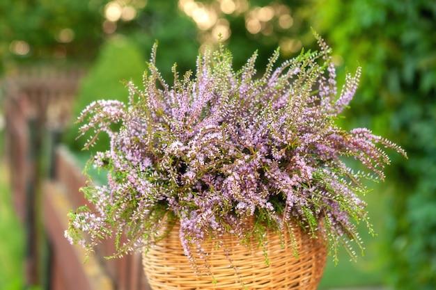 Beau bouquet frais d'une bruyère de la forêt en fleurs dans le panier dans le parc de l'été en plein air.