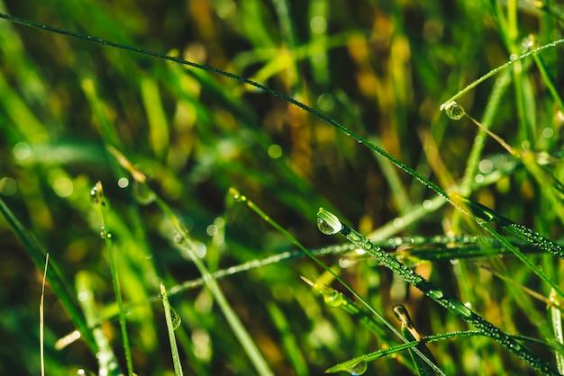 Beau brin vert brillant vif d'herbe avec gouttes de rosée close-up avec espace de copie. pur, agréable, belle verdure avec des gouttes de pluie au soleil en macro. plantes vertes texturées par temps de pluie.