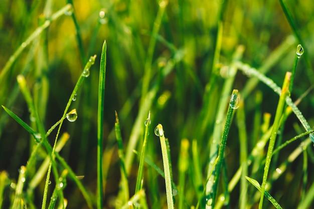 Beau brin vert brillant vif d'herbe avec des gouttes de rosée gros plan
