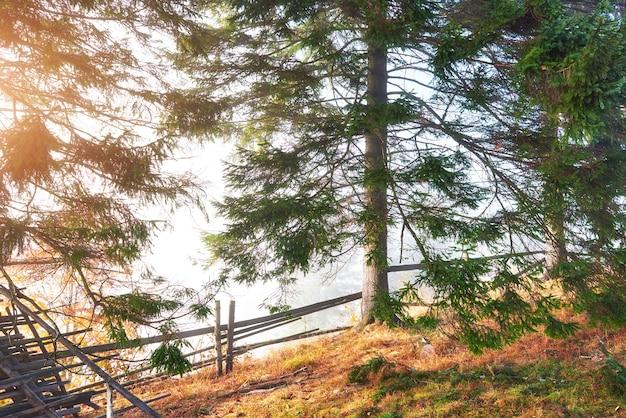 Beau brouillard matinal et rayons de soleil dans la forêt de pins d'automne.