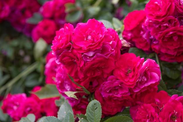 Beau buisson de roses rouges dans le jardin d'été en été