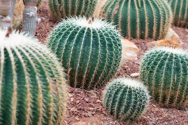 Beau cactus sur galets