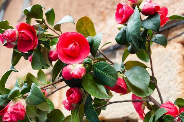Un beau camélia japonica rouge, le nom scientifique est camélia, camélia commun et camélia japonica.