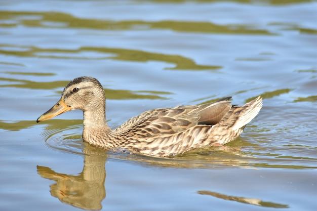 Beau canard nage sur le lac