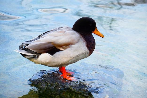 Beau canard d'oie dans l'eau dans le lac