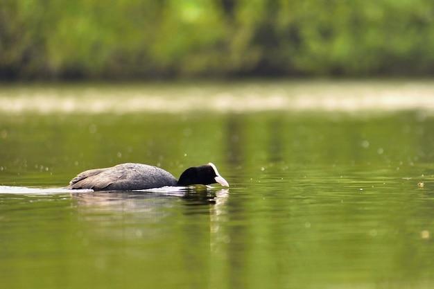 Un beau canard sauvage noir flottant à la surface d'un étang (fulica atra, fulica précédent)